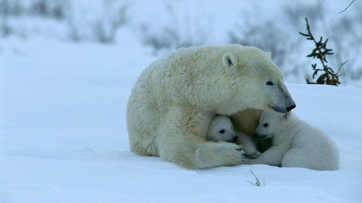 Not far from now, the only polar bears we will be able to see will be those in pictures and old movies..