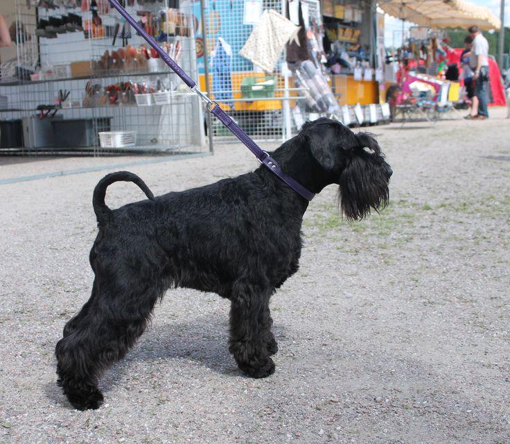 """Zumi"" miniature schnauzer (Black Galaxi Zoom) #dog #black #miniatureschnauzer #purple #leather #design"