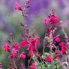 Autumn Sage - heat and drought resistant plants for southwest garder