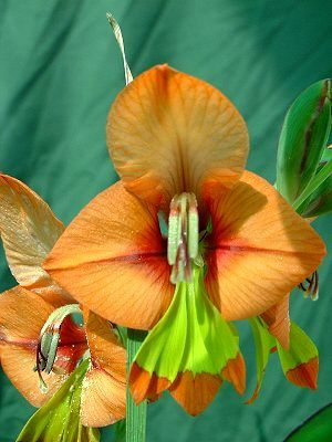 Foro de InfoJardín - Plantas y flores curiosas              gladiolo alatus