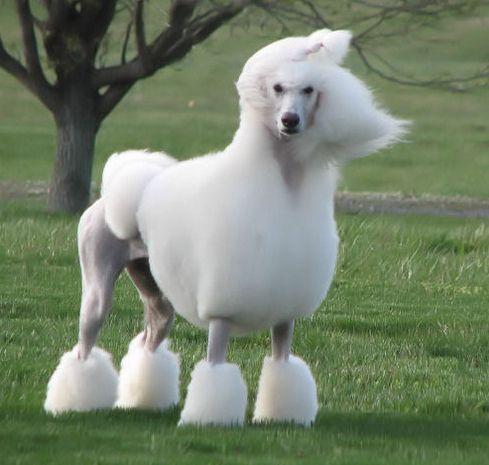 Standard Show Poodle