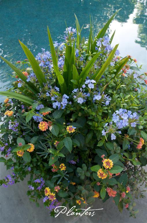 Mixed summer pot with walking iris, orange lantana, and ...