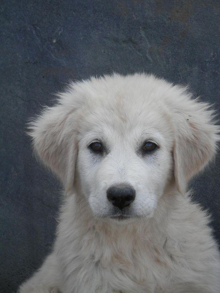 Akbash dog portrait