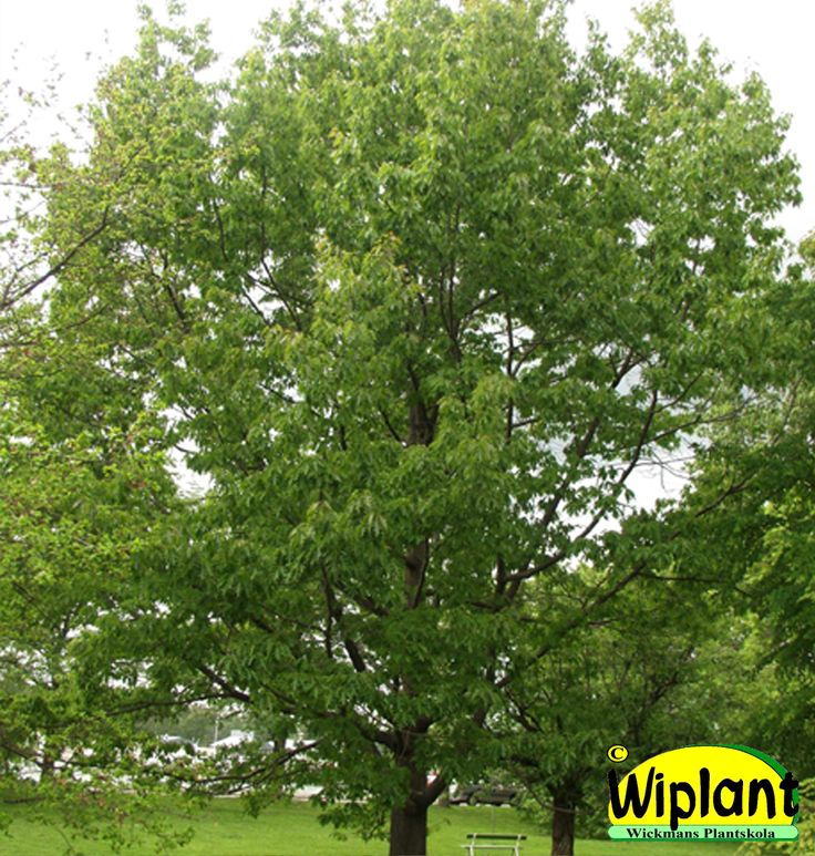 Quercus rubra, rödek. Röda blad på hösten. Mindre än vanlig ek. Höjd: 10-20 m.