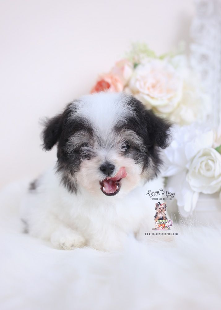 Parti Poodle Puppy For Sale Teacup Puppies 163 D Cute Baby