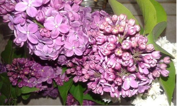 Bódító illata mellett az orgona bármely része – rügy, virág, levél, kéreg – jó szolgálatot tehet egészségünknek. Megfázás, influenza ellen is lehet gyógyír az...