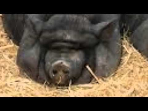 The Three Little Pigs by James Marshall (398.2 MAR) - trailer by Brielle on YouTube