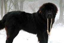 newfoundland pup: Animal Pics, Random Pictures, Newfoundland Pup, Gahhhhh Puppys Kittens, Animal 3, Gahhhhh Puppies Kittens, Dreams Dogs, Puppys Dogs, Animals 3