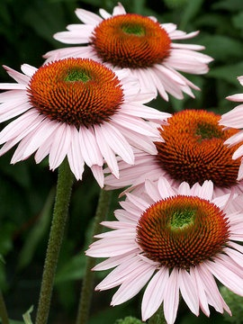Echinacea 'Hope'