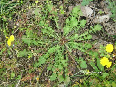 PIKRALIDAΤαυτότητα: Πολυετές αυτοφυές φυτό, φτάνει τα 25 εκατοστά ύψος. Η πικραλίδα βρίσκεται ριζωμένη συνήθως σε χωράφια ως ζιζάνιο ή σε ακαλλιέργητους τόπους. Η ρίζα και τα φύλλα της καταπολεμούν την πέτρα στη χολή. Επίσης είναι διουρητική, χωρίς όμως να μειώνει το κάλιο από τον οργανισμό. Εποχή: Από τον χειμώνα μέχρι την άνοιξη. Στην κουζίνα μας: Ωμή σε σαλάτες ή βραστά. Τα φύλλα της τα βάζουμε και σε λαχανόπιτες.