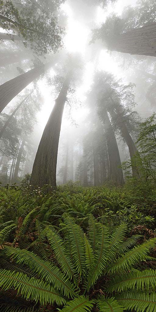 panoramic red woods in fog. Looks like I'm in Jurassic Park. The original one not the bs third one.