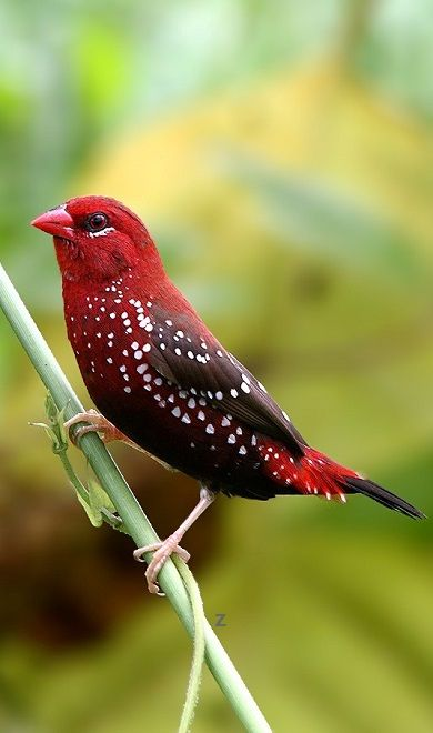 The Red Munia - Red Avadavat - Strawberry Finch