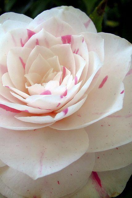 Camellias are AMAZING, This one is Camellia japonica Daikogura