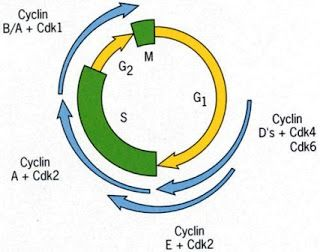Regulation of the Cell cycle – CDKs and Cyclin ~ Biology Exams 4 U #biology #notes, #syllabus, #study #materials, #previous #question #papers, #practice #tests, #mcq #biology, #resources, #mastering #biology, #biology #topics,cell #biology, #molecular #biology, #biology #terms, #biology #books, #plant #biology,8925faa3-562f-4cdc-83478e99fa898a36 #…