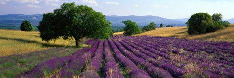 Champ de lavande, Provence, Drôme Reproduction photographique par Panoramic Images sur AllPosters.fr