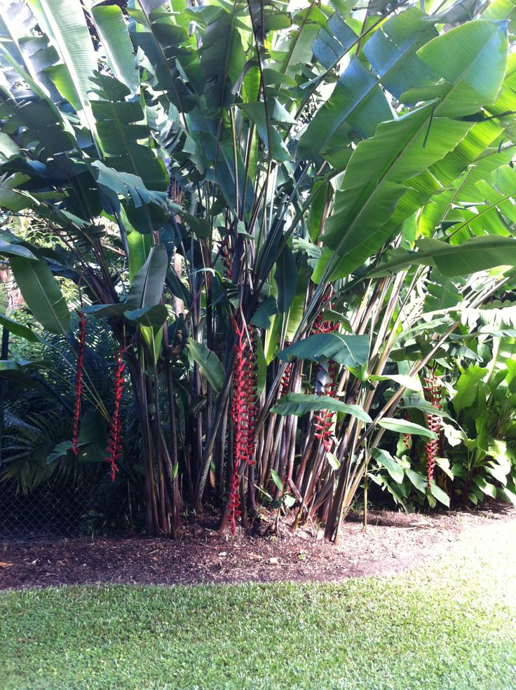 Cairns Botanical Gardens - love the heliconias