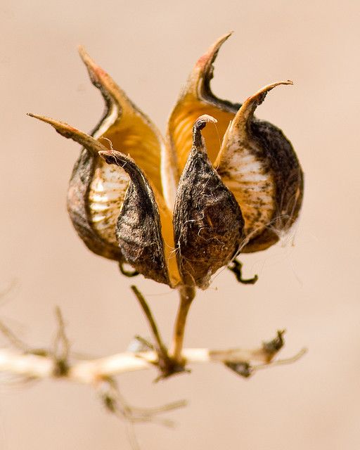 Mesilla Valley Bosque State Park Seed Pod by Dolor Ipsum, via Flickr