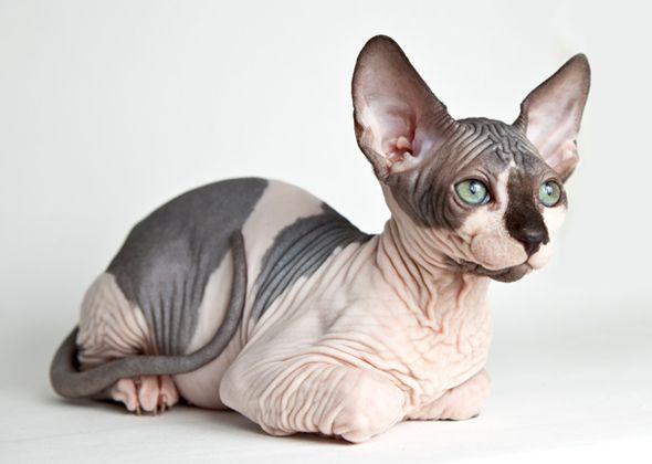 Sphynx - Affectionate Cat Breeds