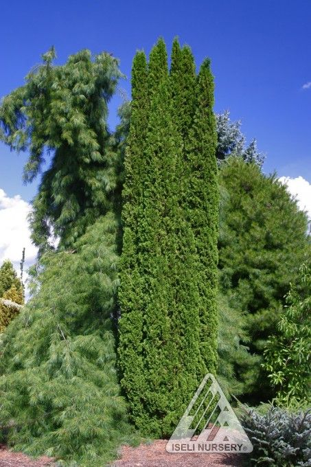 Thuja occidentalis 'Degroot's Spire':  It combines a narrow, columnar form with thick, ruffled, medium green foliage and branchlets that occasionally twist and layer over one another.