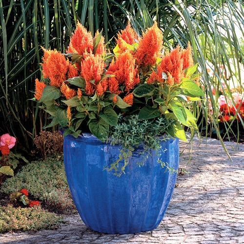 Celosia 'Fresh Look orange'...on it s own they look good especially in blue pot...