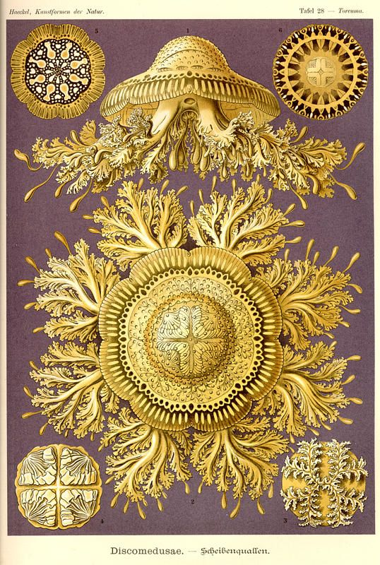 Ernst Haeckel. What I love most is that at first I thought this was a brocade wall paper from the 19th century, all golden-y and resplendent...only to realize its much better!