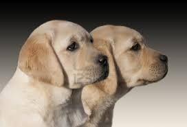 yellow labrador retriever puppies - Google Search