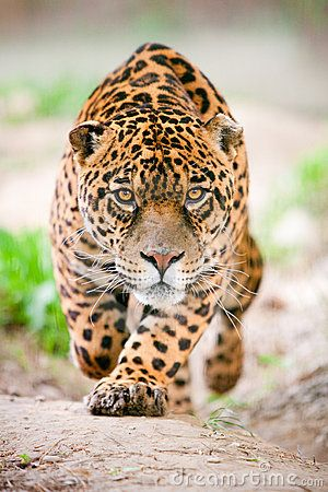 Jaguar attack http://www.dreamstime.com/stock-photos-jaguar-attack-image14214583