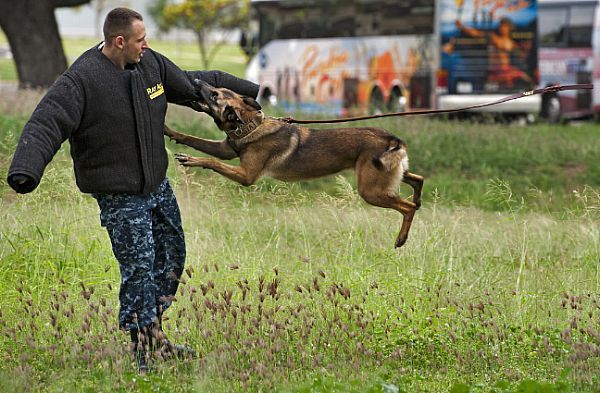 Asta, a military police working dog, attacks Master-at-Arms 2nd Class William Bryan during a controlled aggression demonstration on Ford Island at Joint Base Pearl Harbor-Hickam. Military working dogs are used to apprehend suspects and to detect explosives and narcotics while searching buildings, ships and submarines. (U.S. Navy photo by Mass Communication Specialist 3rd Class Diana Quinlan/Released)