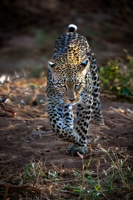 Leopard hunting by Michael Cohen
