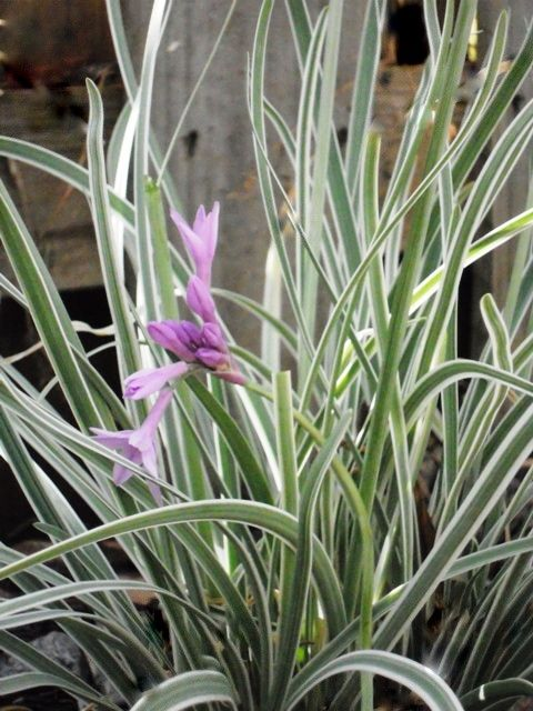 Tulbaghia Violacea Variegated - Society Garlic