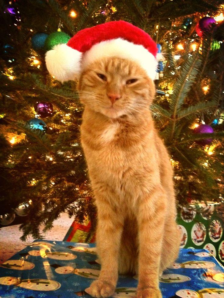 "Ginger cat wearing Santa hat under Christmas tree. ""Merry"