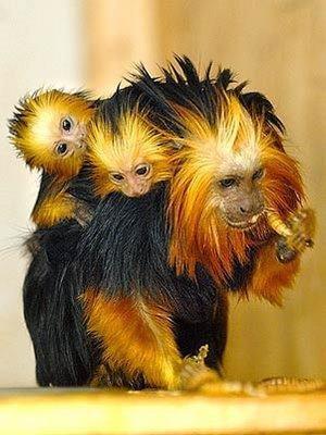 Due cuccioli di una specie nota brasiliana di primati, la testa d'oro Tamarin ( chrysomelas Leontopithecus ), nati in cattività presso il Tropicarium zoo di Budapest, in Ungheria. L'arrivo dei cuccioli viene celebrata perché la specie è in grave pericolo di estinzione. Nato a Bahia e Minas Gerais, il leone d'oro Tamarin è una testa di animale leggero e può pesare fino a 710 g in età adulta. Questi primati sono onnivori e si nutrono di frutta, insetti e uova.