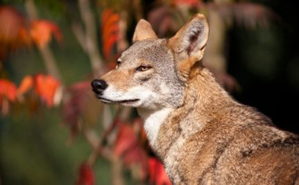 Help save Red Wolves