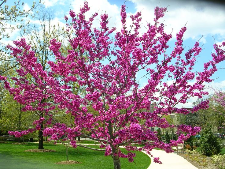 Oklahoma Redbud Is A Beautiful Garden Tree Valued For Its