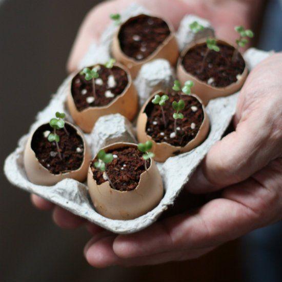 Eierschalen für Setzlinge nutzen! Prima Idee! Die Schale wird im Laufe der Zeit zu Dünger.
