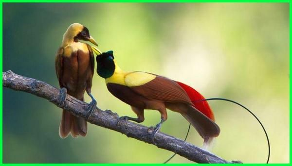 how many bird of paradise species are there | Beautiful