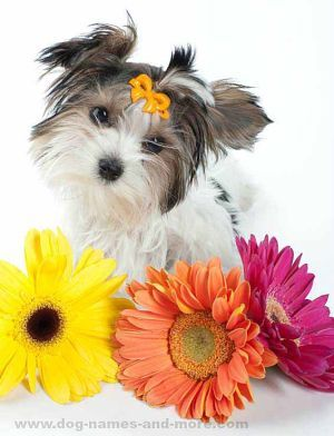 This Yorkie puppy is hoping for a pretty female dog name