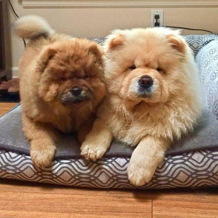 Мультяшную смешную картинку для смс как собака чау чау попалась корейцам