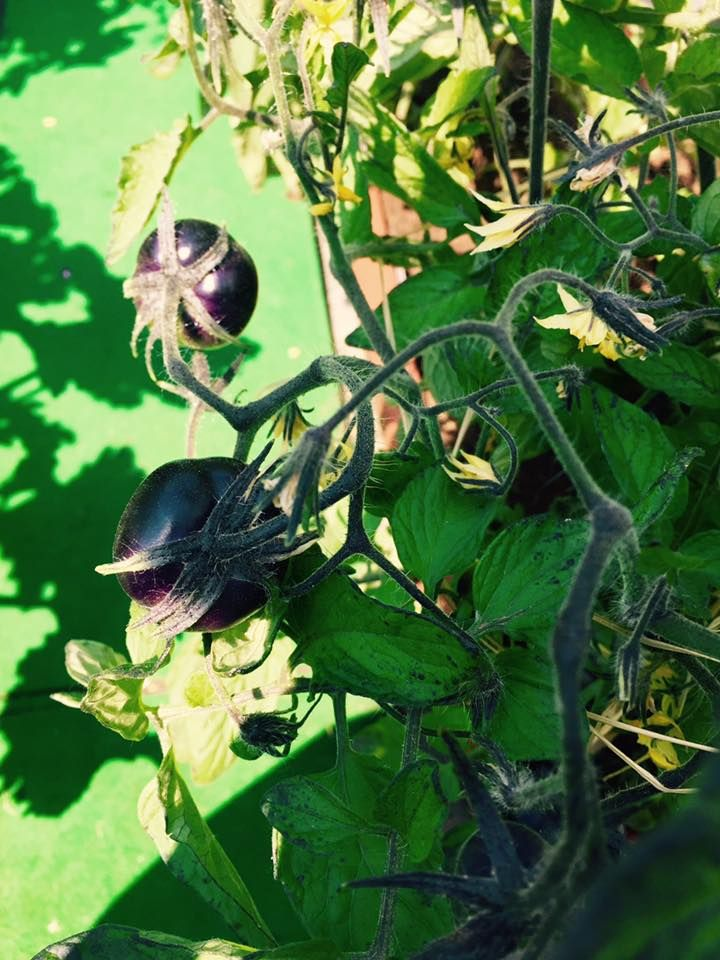We look forward to harvesting sun black tomatoes in early June on our vegetable garden on the roof!  Do you know who takes care of our vegetable garden? http://blog.hotelmilanoscala.it/lorto-sul-tetto-che-scotta/