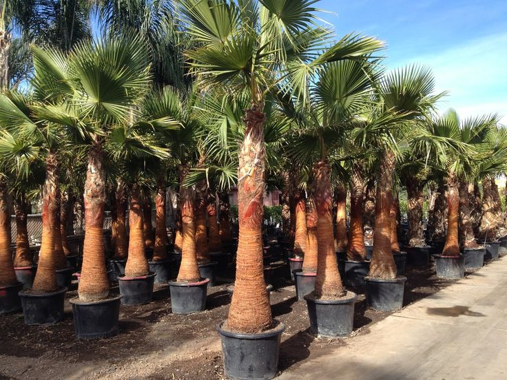 Mexican Fan Palms are the classic resort style palm tree that's a long time favorite for ease of growth. Very durable and loves the full sun