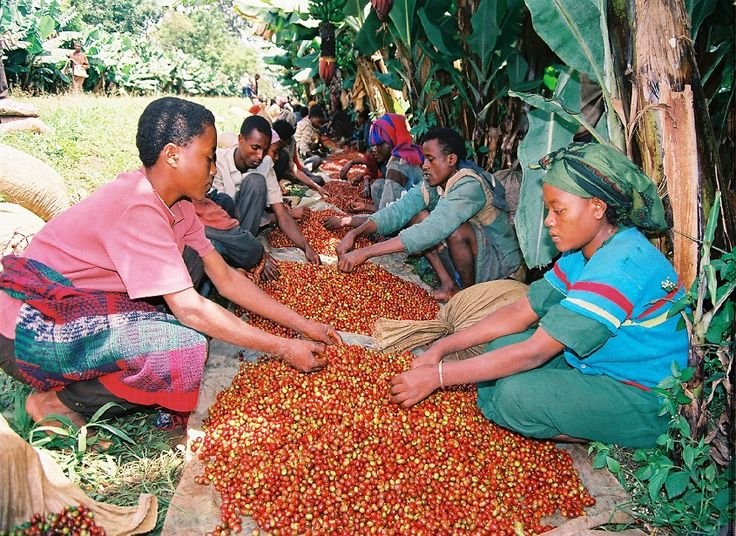 A story about Oromia #Coffee Farmers Cooperative Union written by Andreas Späth #Fairtrade