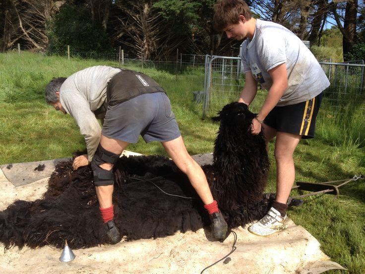 Alpaca shearing at Promhills Cabins