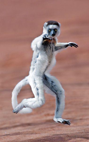 Leapin' lizards! Look at this guy go!  Madagascar  Photo by: Todd Gustafson, Gustafson Photo Safari