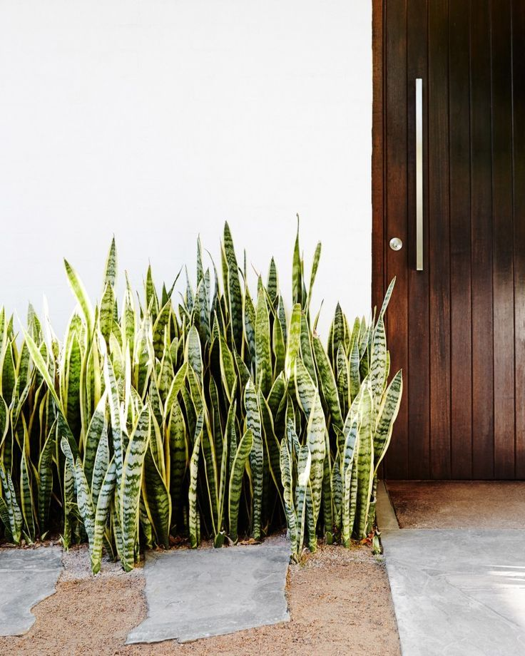 A clump of mother in laws tongue (Sansevieria trifasciata) at the front door sets the modernist tone for the rest of the garden