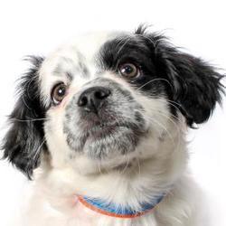Phoenix, Arizona - Lhasa Apso. Meet Rex, a for adoption. https://www.adoptapet.com/pet/20918059-phoenix-arizona-lhasa-apso-mix
