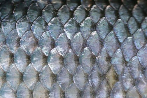 Close Up Of Fish Scales Inspiration Patterns Textures In