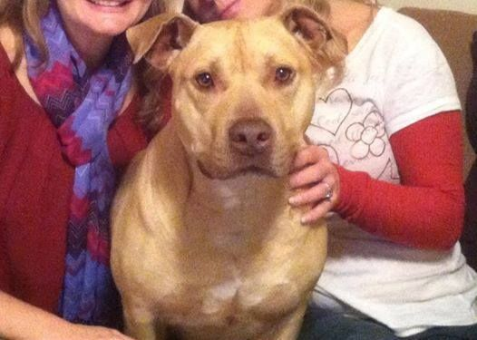 "ROCKINGHAM CO, VA--LOST MALE PIT BULL ""MISSING MALE PIT BULL FROM BROADWAY, VA AREA - He is a light tan male pit bull, named Harley. He was last seen in Broadway, VA on Saturday June 28th at 9:30 p.m. He ran away due to fireworks so it is possible that he could be anywhere. If you have information please call 540-820-8123 or 540-896-6803 day or night! If you can't call, please email reedyaj@jmu.edu. He is loved and missed."" — with Amanda Reedy."