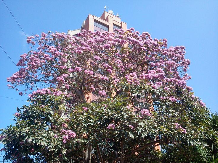 Roble Morado, árbol típico de la ciudad de Barranquilla. Símbolo de la grandeza y el empuje de esta urbe colombiana; por estos días florecido. Como diría la alcaldesa de la capital del Atlántico. Barranquilla florece para todos!