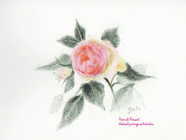 Pierre de Ronsard At Nakanoshima Rose Garden. Watercolour pencils Paper: Winsor & Newton COTMAN 227 x 158mm