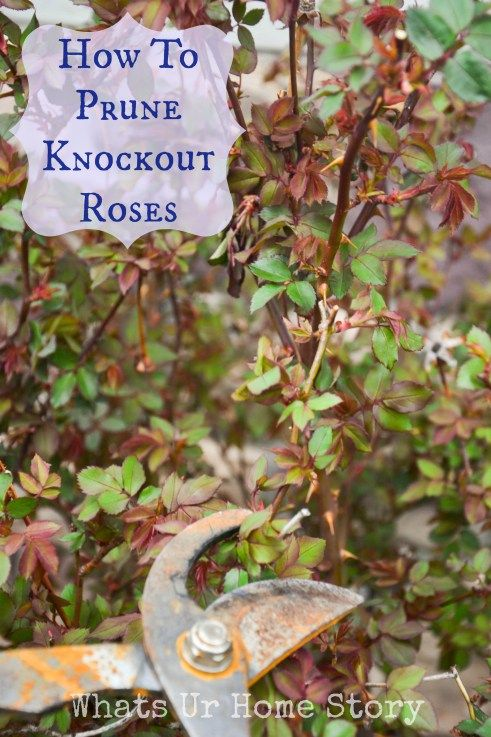how to prune knockout roses; pruning knockout roses